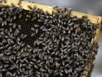 Cosmar. Un barbat a fost atacat de peste 100 de albine
