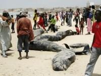 50 de balene esuate pe o plaja din Africa de Sud! Doar 20 au fost salvate!
