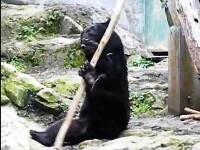 Catarat intr-un pom, un urs le-a dat mari batai de cap pompierilor