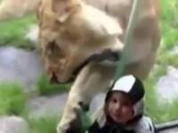 Viralul zilei pe internet. Un baietel sta nepasator in timp ce o leoaica incearca sa-l inhate. VIDEO