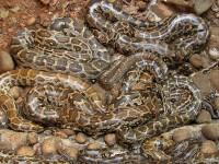 Invazie de serpi intr-un oras din Irak: cel putin 60 de persoane au murit