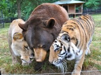 Un leu, un tigru si un urs sunt de nedespartit: