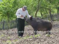 Afacere de succes cu mistreti in Hunedoara. Un crescator de animale are atat de multe comenzi incat nu le poate onora
