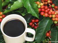 Salvati cafeaua din Etiopia! Cercetatorii cauta solutii pentru a preveni disparitia definitiva a arborelui Arabica