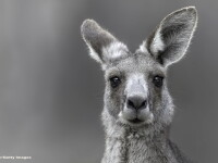 Locuitorii unui oras din Australia, surprinsi de o aparitie neobisnuita. Cum arata cangurul