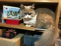 Grumpy Cat are de acum un rival serios. Motanului Norman nu-i plac politistii, sare repede la atac si e mereu nemultumit