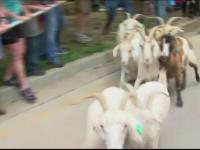 Scene comice la un targ al fermierilor din Kentucky: politistii au alergat dupa mai multe capre care au evadat in oras