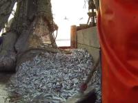Peste 23 de tone de merluciu congelat, depistate cu larvele unui vierme. Doar 4 tone au fost retrase de ANSVSA de la vanzare