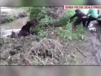 Misiune neobisnuita pentru politistii din Timisoara. Au fost chemati sa salveze un cal cazut intr-un canal de acumulare