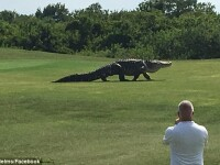 Un crocodil gigant a creat panica printre jucatorii de golf de pe un teren din Florida