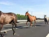 Zece cai care au fugit de la o ferma au oprit traficul pe autostrada M6, Ungaria. Sensul de mers catre Budapesta, ingreunat