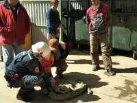 Piton urias, capturat la o ghena de gunoi din Moscova. Nimeni nu stie cum a ajuns reptila in oras
