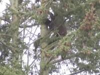 Politistii americani au supravegheat, timp de 11 ore, un urs catarat intr-un copac. Cum s-a terminat aventura