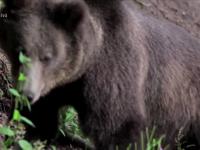 Ministerul Mediului a dat aviz. 175 de ursi vor fi ucisi in Romania in acest an
