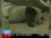 Primii doi panda nascuti in 2017 au parasit incubatorul dupa o luna. Tratamentul special pe care il primesc de la ingrijitori