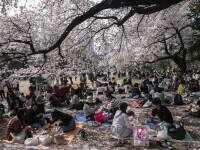 Japonia pierde două miliarde de dolari din cauza florilor de cireș