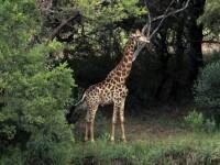 Regizor faimos, ucis de o girafă.