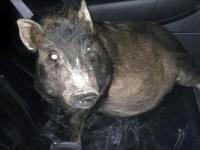 Un bărbat a chemat poliția fiindcă un porc îl urmărea