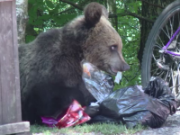 Ministerul Mediului va decide soarta ursului care a mușcat o turistă ce voia să facă selfie cu el