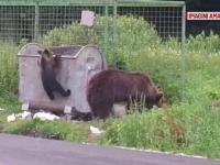Intervenție a jandarmilor la Băile Tușnad. O ursoaică și puii ei, liberi pe străzi