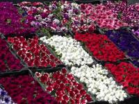 Târgul de flori dintr-o localitate din Mureș, renumit în toată țara. Ce s-a vândut cel mai bine