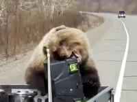 Momentul în care un urs fură mâncarea din remorca unui vânător. VIDEO