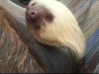 Un leneș nou-născut a reușit deja să devină atracția principală de la grădina zoologică