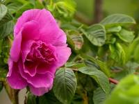 Povestea celei mai mari plantaţii de trandafiri din ţară. Cât costă borcanul de dulceață