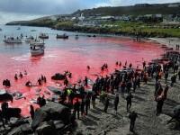 Vânătoarea brutală în care au fost măcelărite 200 de balene. FOTO
