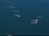 VIDEO Momente inedite. Delfini surprinși în Bosfor în apropiere de Istanbul