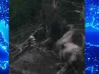 Operațiune specială a jandarmilor din Bistriţa-Năsăud, cu o ursoaică în prim plan