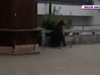 Urșii se plimbă nestingheriți pe străzile din Tușnad, în lipsa turiștilor. VIDEO