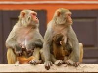 Mai multe maimuțe din India au furat probe de sânge recoltate de la pacienți infectați cu Covid-19