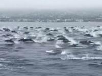 VIDEO Spectacolul oferit de peste o mie de delfini. Unde a avut loc momentul