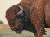 Moarte tulburătoare. Un tânăr a murit după ce a fost atacat de același bizon care i-a ucis și tatăl
