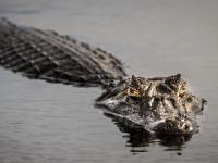 Un aligator celebru a murit la vârsta de 84 de ani. Care ar fi fost legătura lui cu Adolf Hitler