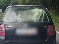 VIDEO. Imagini inedite în Dâmbovița, cu un vițel cărat pe bancheta din spate a unei mașini