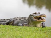 Luptă de proporții între doi aligatori în fața casei unei femei din SUA. VIDEO uluitor
