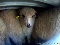 Aproape 100 de oi au murit după ce tirul care le transporta s-a răsturnat în Tulcea
