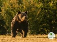 """Cazul ursului Arthur, în atenția comisarului european de Mediu: """"Urmăresc foarte atent\"""