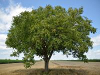 Riști o amendă de până la 10.000 de lei dacă tai acest pom, chiar dacă este în curtea ta