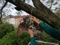 Primăria Arad vrea să alunge ciorile din oraş cu bufniţe false agăţate în copaci