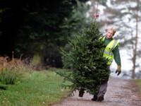 Peste 3.000 de pomi de Craciun vor fi scosi la vanzare anul acesta de Directia Silvica Alba