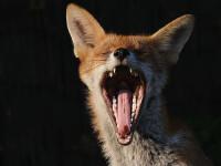 O vulpe turbata a bagat groaza intr-un sat din judetul Salaj