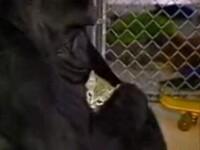 IMPRESIONANT! O gorila plange dupa cea mai buna prietena, o pisicuta!