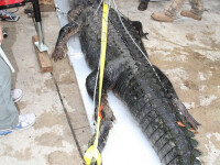 L-au capturat pe Godzilla! Nou record in Florida! Vezi ce monstru au prins