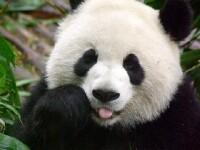 O ursoaica panda a mimat o sarcina pentru a primi mai multa hrana