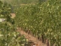 Patria vinului, partea 1: Via si vinul au atras tot ce se putea din fondurile europene. Primul reportaj din crama guvernatorului Mugur Isarescu