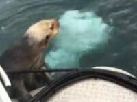 Imagini dramatice. O vidra fuge de o balena ucigasa, dar nu-si mai poate salva puiul. VIDEO