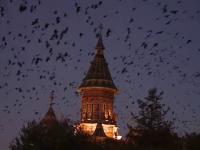 Scene apocaliptice, ca intr-un film de Hitchcock, in Timisoara. Orasul, invadat de 150.000 de ciori